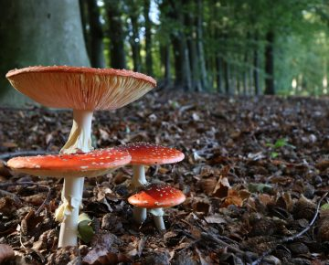 red mushrooms in foreground trees and forest in the background