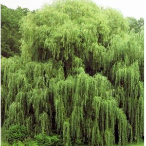 Willow Tree Starts