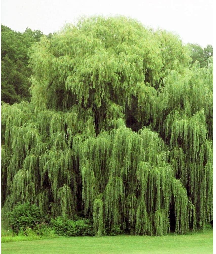Full grown willow