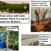 Willow tree starts with roots