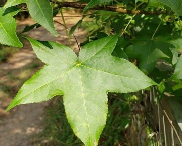 Sweet Gum Tree Leaf