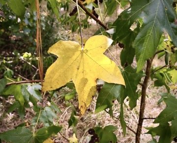 Yellow Sweet Gum Leaf