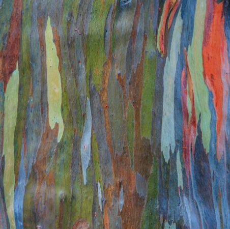 Rainbow Eucalyptus tree zoomed in on the colorful bark