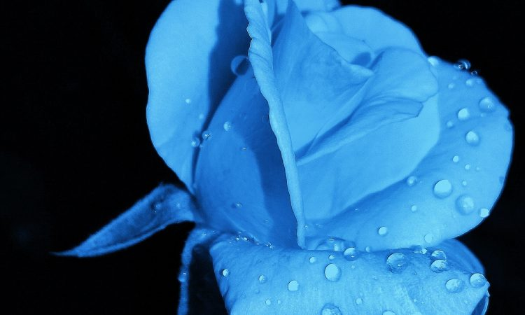 Blue Rose with Black Background
