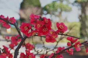 Flowering Quince with red flowers