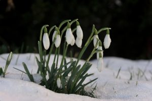 Snow drops coming up and blooming with a snowy backdrop