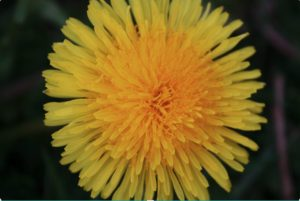 close up of a yellow dandelion blossom