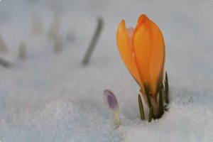 orange Crocus coming up through the snow