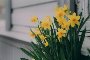 Daffodils blooming near a house