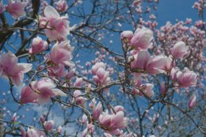 Pink Magnolia blossoms against a blue sky