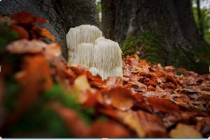 Lions mane mushroom growing at base of tree with fallen leaves around it.